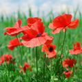 red poppies - PhotoDune Item for Sale