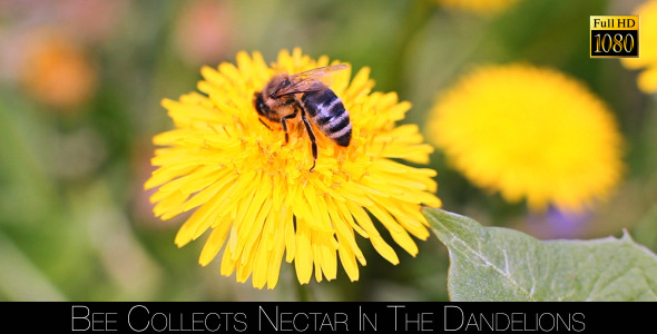 Bee Collects Nectar In The Dandelions