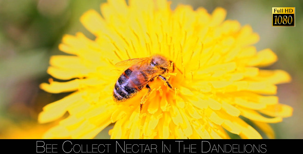 Bee Collects Nectar In The Dandelions 3