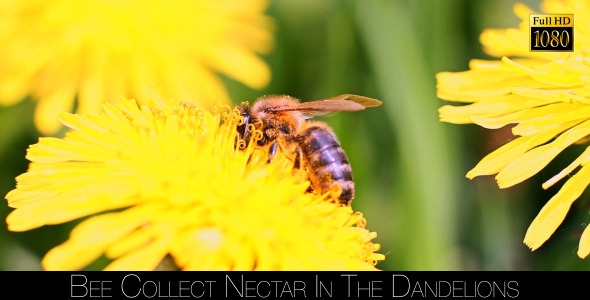 Bee Collects Nectar In The Dandelions 8