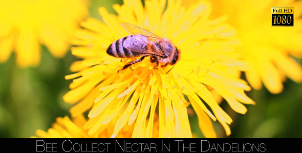 Bee Collects Nectar In The Dandelions 10