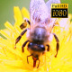Bee Collects Nectar In The Dandelions 16 - VideoHive Item for Sale