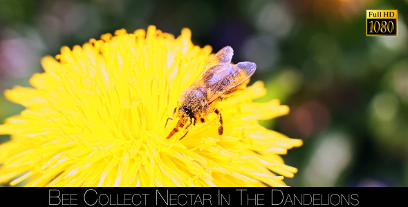 Bee Collects Nectar In The Dandelions 18