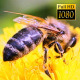 Bee Collects Nectar In The Dandelions 20 - VideoHive Item for Sale