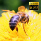 Bee Collects Nectar In The Dandelions 22 - VideoHive Item for Sale
