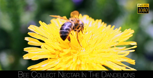 Bee Collects Nectar In The Dandelions 22