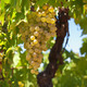 White wine grapes - PhotoDune Item for Sale