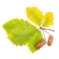 acorns and oak leaves isolated on white background - PhotoDune Item for Sale