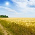 wheat field, sun and blue sky - PhotoDune Item for Sale