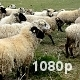 Flock of Sheep - VideoHive Item for Sale