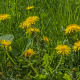 Grass, Dandelion And Bee - VideoHive Item for Sale