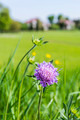 Field Scabious (Knautia arvensis) - PhotoDune Item for Sale