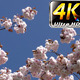 Flowers on Tree  - VideoHive Item for Sale
