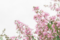 Lagerstroemia speciosa, Pride of India, Queen's flower on white - PhotoDune Item for Sale