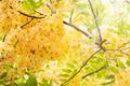 Golden Shower Tree - PhotoDune Item for Sale
