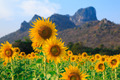 Field of sunflowers, Summer landscape - PhotoDune Item for Sale