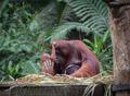 Little orangutan hugging his mom - PhotoDune Item for Sale