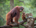 Mother orangutang with its little son - PhotoDune Item for Sale