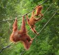 Orangutangs in funny poses walking on a rope - PhotoDune Item for Sale