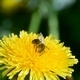 A Bee Collects Pollen from a Dandelion flower - VideoHive Item for Sale