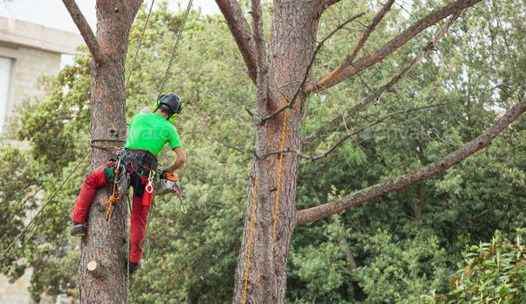 Man pruning pine tree.