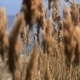Reeds In The Wind 3 - VideoHive Item for Sale