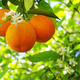 Ripe oranges and flower on a tree close-up - PhotoDune Item for Sale