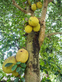 jackfruit tree - PhotoDune Item for Sale