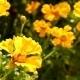 Beautiful Yellow Gerbera  Flowers On a Bokeh - VideoHive Item for Sale