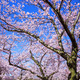 Cherry blossom on blue Sky, Japan - PhotoDune Item for Sale