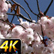 Flowers on Tree 2 - VideoHive Item for Sale