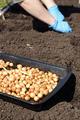 Gardener planting onions in the vegetable garden - PhotoDune Item for Sale