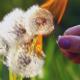 Fiery Dandelion - VideoHive Item for Sale