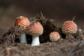 Growing Red Toadstool - PhotoDune Item for Sale