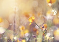 Background with yellow flower of a buttercup - PhotoDune Item for Sale