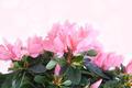 Flowers of a pink azalea - PhotoDune Item for Sale