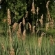Reeds with Trees  - VideoHive Item for Sale