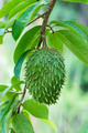 Soursop, Prickly Custard Apple. - PhotoDune Item for Sale