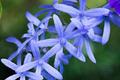 Petrea Flowers - PhotoDune Item for Sale