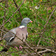 Grey Pigeon Sitting On The Branch - VideoHive Item for Sale