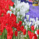 Tulips - VideoHive Item for Sale
