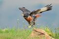 Jackal buzzard - PhotoDune Item for Sale