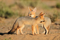 Cape foxes - PhotoDune Item for Sale