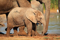 Baby African elephant - PhotoDune Item for Sale