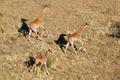 Running giraffes - PhotoDune Item for Sale