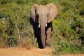 African elephant - PhotoDune Item for Sale