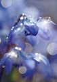 Defocused blue background with spring flowers - a Scilla Siberica - PhotoDune Item for Sale