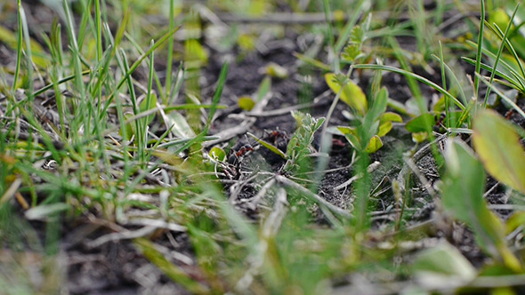 Ants In Grass