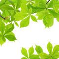 Chestnut leaves - PhotoDune Item for Sale