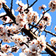 Tree Branch With Flowers - VideoHive Item for Sale